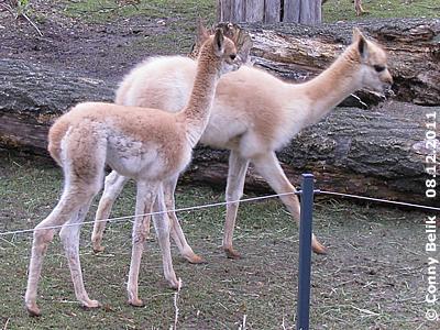 Die beiden Youngsters auf Entdeckungstour - allerdings innerhalb des Südamerika-Parks! Vikunja-Babys #1 (re), 3 Monate alt, und Baby#2 (li), zehn Tage alt, 8. Dezember 2011