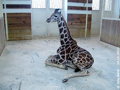 Giraffen-Bub Arusha, 24. November 2011