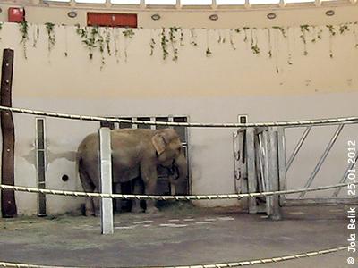 Hella, bereits 45 Jahre alt, Asiatische Elefantin, Innenanlage Elefanten-Haus, Zoo Budapest, 25. Jänner 2012