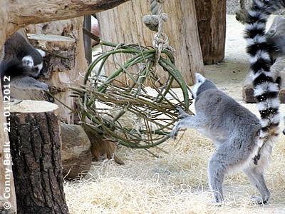 Auch die Kattas finden die Weiden-Kugel interessant, die kann man so schön in die Bestandteile zerlegen, 21. Jänner 2012