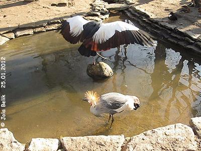 Kronenkraniche bei der Körperpflege, Zoo Budapest, 25. Jänner 2012