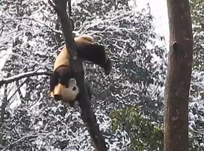 Fu Long in luftiger Höhe, Bi Feng Xia, Februar 2012 (Screenshot aus Video)