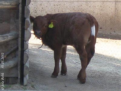 Der Tuxer Mni-Stier, sechs Wochen alt, 15. März 2012
