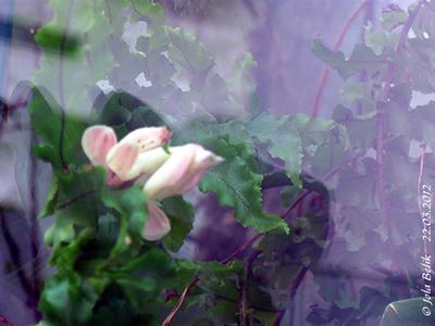 Orchideenmantis, wenige Wochen alt, 22. März 2012