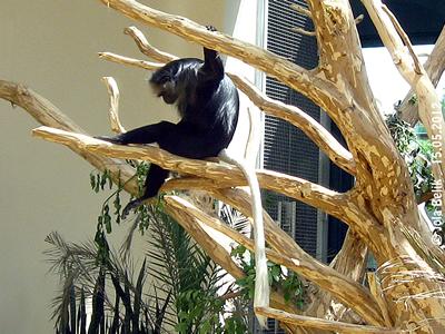Wie im Lehrbuch, so sollten Bärenstummelaffen in den Bäumen schlafen ...
