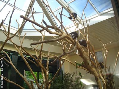 Die Halle der Bärenstummelaffen ist bis zu fünf Meter hoch! Achim, Maria und Kwaku beim morgendlichen Sonnenbad, Affenhaus, 26. April 2012