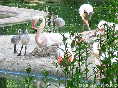 ... zwischen den bebrüteten Nestern und den langen Beinen der erwachsenen Flamingos herum. 26. Mai 2012
