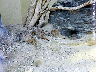 Erdmännchen in der Außenanlage, Affenhaus, 9. Mai 2012