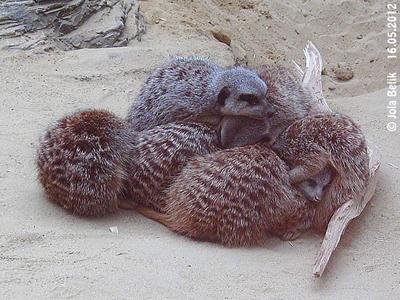 Während das Erdmännchen-Fellknäuel schläft, ...
