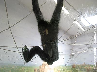 Gibbon in luftiger Höhe beim Glasdurchgang zur Dachvoliere, Grüne Pyramide, Sóstó Zoo, 6. Juni 2012