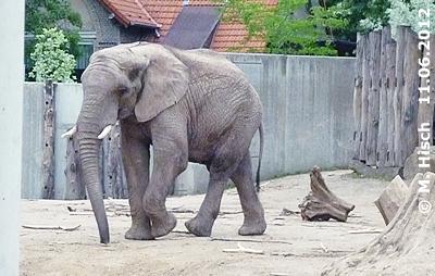 """""""Unser"""" Abu, elf Jahre alt, im Zoo Halle, 11. Juni 2012"""