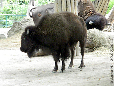 Das neue Bison-Mädl, 29. Juli 2012