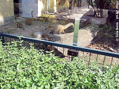 Nasenbären beim Eingang zum Haus, für Besucher sind sie aber nur draußen zu sehen! 9. Juli 2012