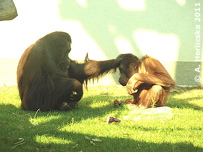So nicht, junger Mann! Sarita (li) mit Junior Bunga (re), Oktober 2011, Sóstó Zoo