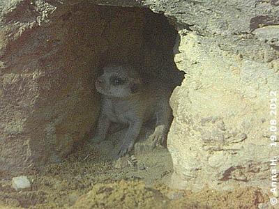 Eines der entzückenden Mini-Erdmännchen, drei Wochen alt, 19. August 2012