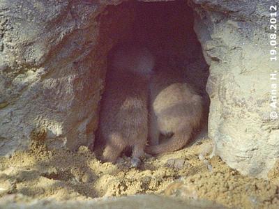 ... kann ganz schön eng werden, wenn alle Minis gleichzeitig hinein wollen! Erdmännchen-Babys, drei Wichen alt, 19. August 2012
