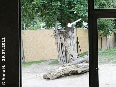 Das NEst kann man recht gut vom Südamerika-Haus aus sehen (siehe Pfeil). Hier wurde schon fleißig gebrütet, 29. Juli 2012