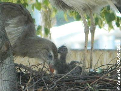 Noch sind die Mini-Seriemas im Nest! Seriema-Küken, wenige Tage alt, 2. September 2012
