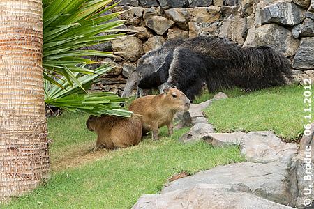Schottin und Capybara