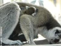 Katta-Zwillinge