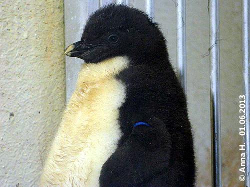 Pinguin-Küken