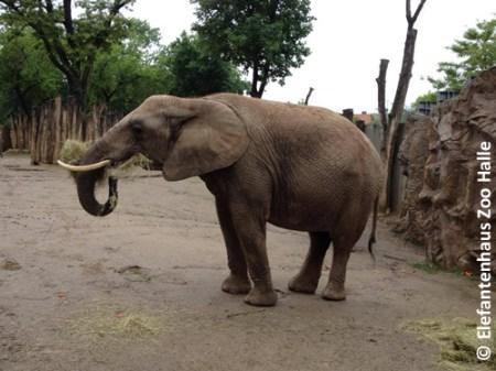 Bibi, wenige Tage vor der Geburt, 11. September 2013 (Foto: Elefantenhaus Bergzoo Halle)