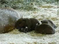 Mini-Capybaras