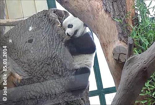 Auch weiter oben versucht Yang Yang den Eingang zu erweitern, doch viel kann sie nicht runter knabbern ...