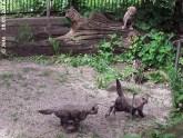 MIni-Geparden