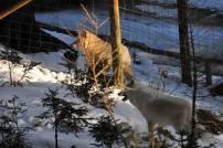 Panache und Wölfin