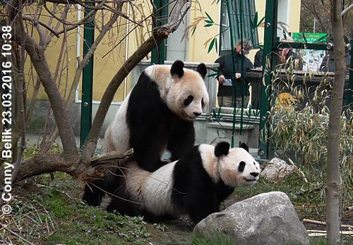 Paarung von Yang Yang & Long Hui, Tiergarten Schönbrunn