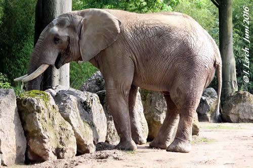 Elefanten-Bulle Shaka aus Duisburg soll nach WIen kommen! Shaka in Duisburg, Juni 2016