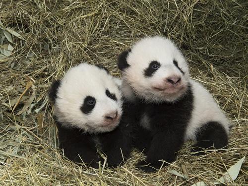 Fu Feng (links) und Fu Ban (rechts)