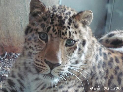 Amurleoparden-Bub