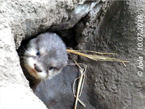 Otterbaby #1