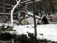 Fu Ban, Fu Feng und Yang Yang