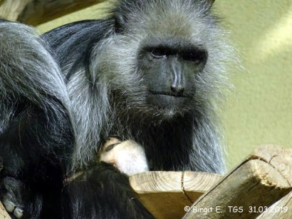 Mini-Colobus