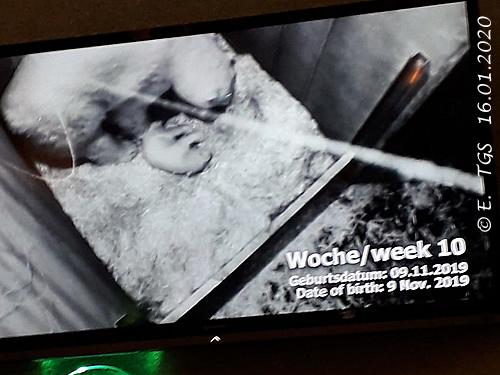 Nora-Zwergi 10 Wochen alt