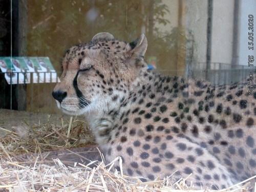 Gepardin Afra