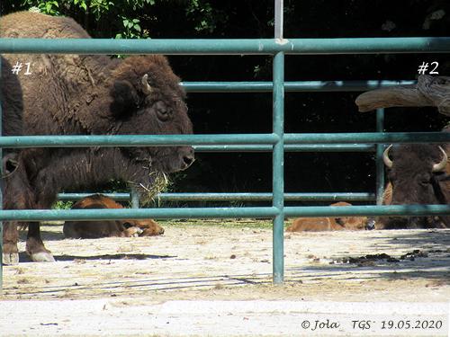 Bison-Babys mit Müttern