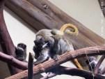 Kaiserschurrbart-Tamarin Papa Purple mit den Drillingen