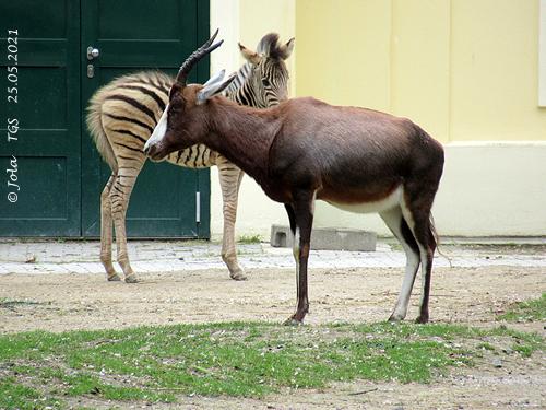 Blessbock und Zebra