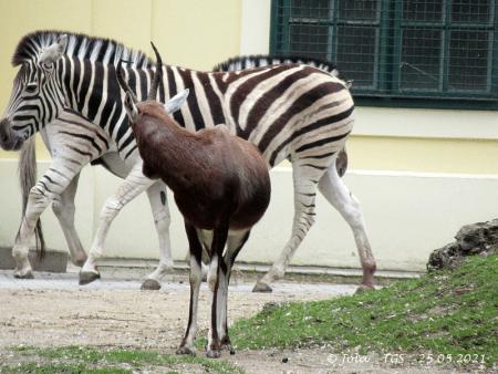 Blessbock und Zebras