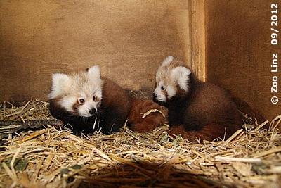 Die entzückenden Zwillinge in der Wurfbox, rund drei Monate alt, September 2012 (Foto: Zoo Linz)