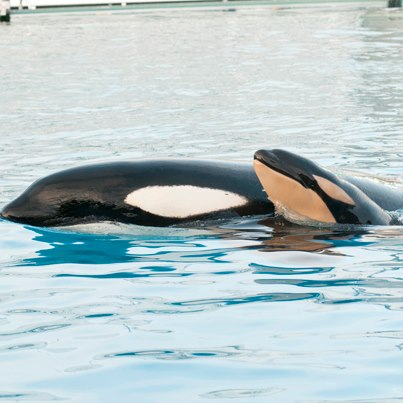 New Baby Killer Whale Makes It Ten At SeaWorld San Diego