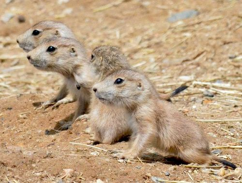 Prairie Dog Pups Pop Up at Maryland Zoo ZooBorns