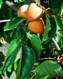 Хурма, дикий финик (Diospyros).Плоды. Применение хурмы в ...