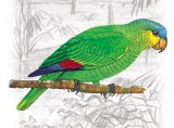 Rase de Papagali - Papagalul Amazonian cu aripi portocalii