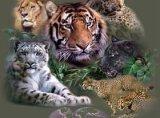 Animale de companie - felinele de talie mare