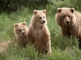Animale de companie - Ursii